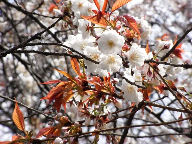 ヒロシマエバヤマザクラ02.jpg