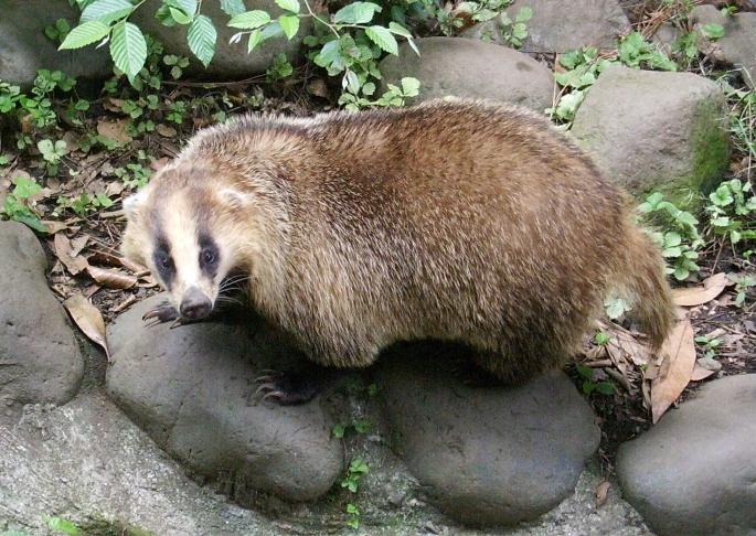 Meles_meles_anakuma_at_Inokashira_Park_Zoo