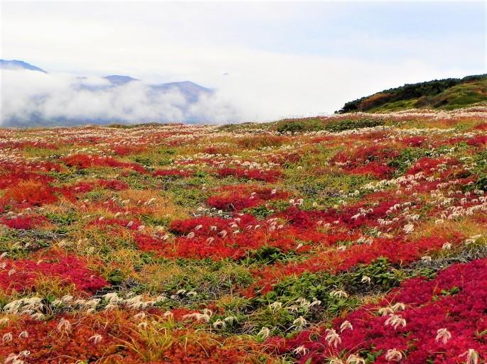 北海平のチングルマ_-_panoramio