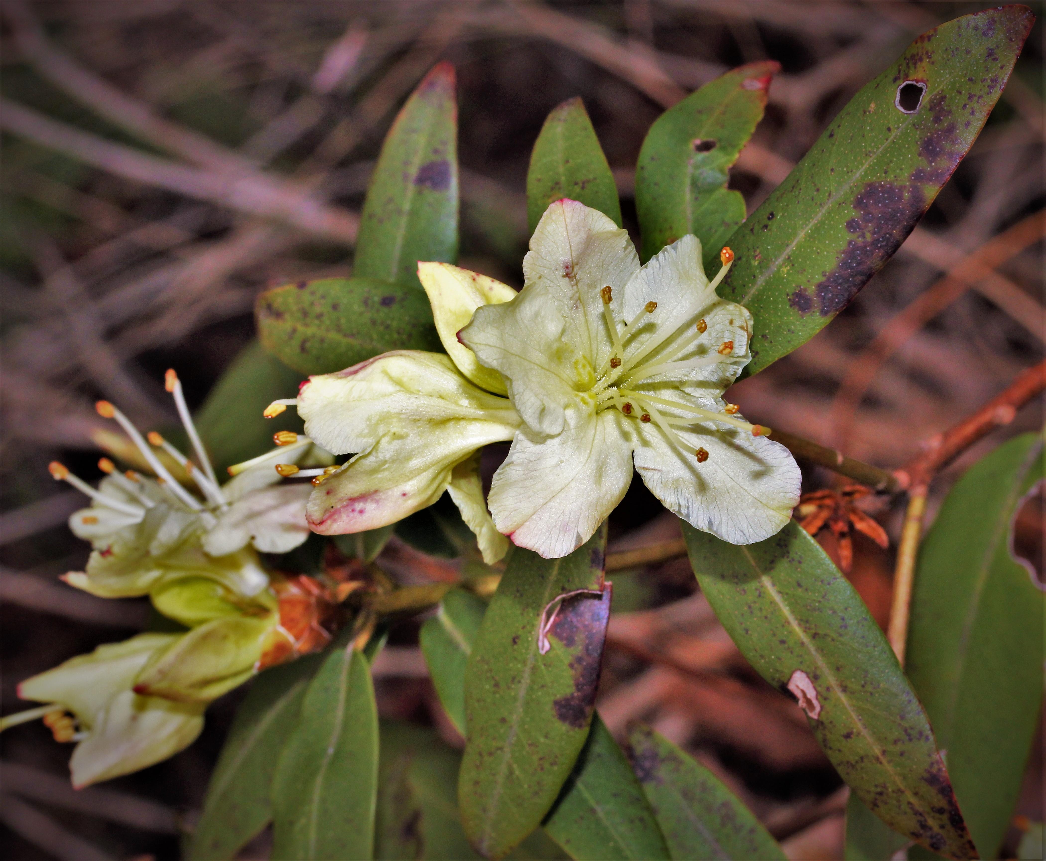 keiskei_rhododendron